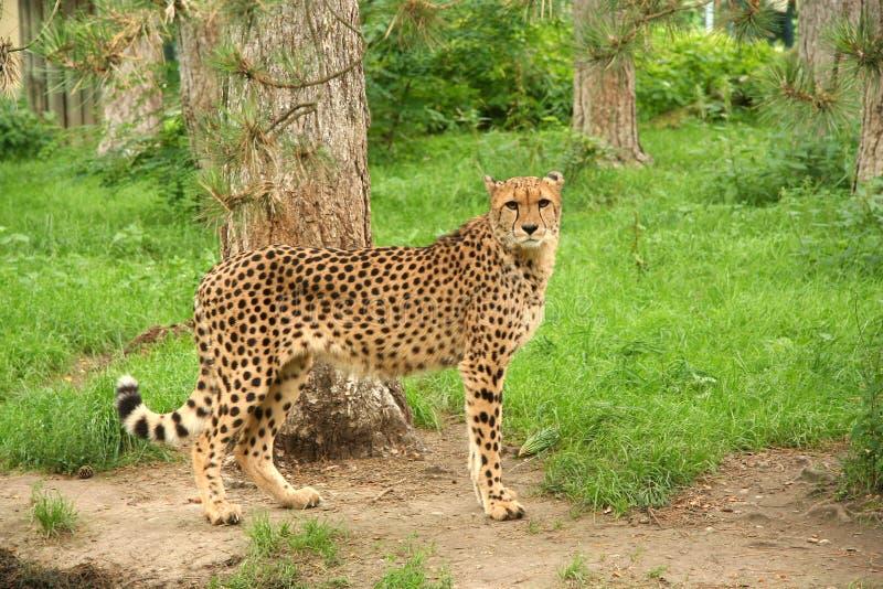 Download Cheetah fotografering för bildbyråer. Bild av rovdjur, predatory - 247545