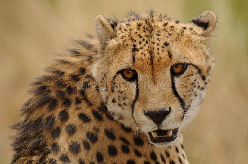 Cheetah. The cheetah is the fastest land animal stock photography