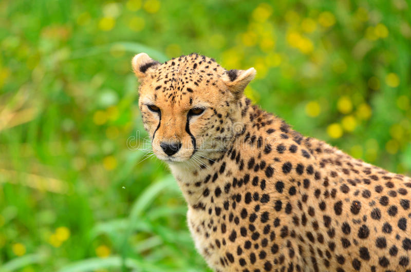Download Cheetah stock photo. Image of mammal, spotted, carnivore - 25517158