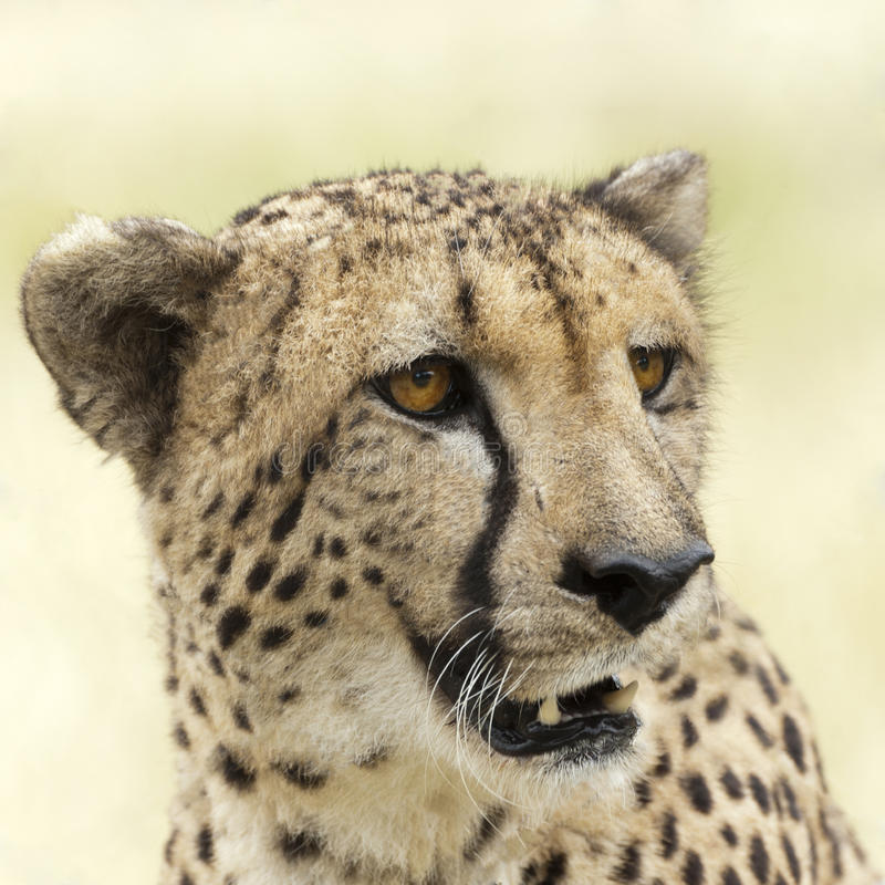 Download Cheetah stock image. Image of animal, muzzle, adult, nature - 25792421