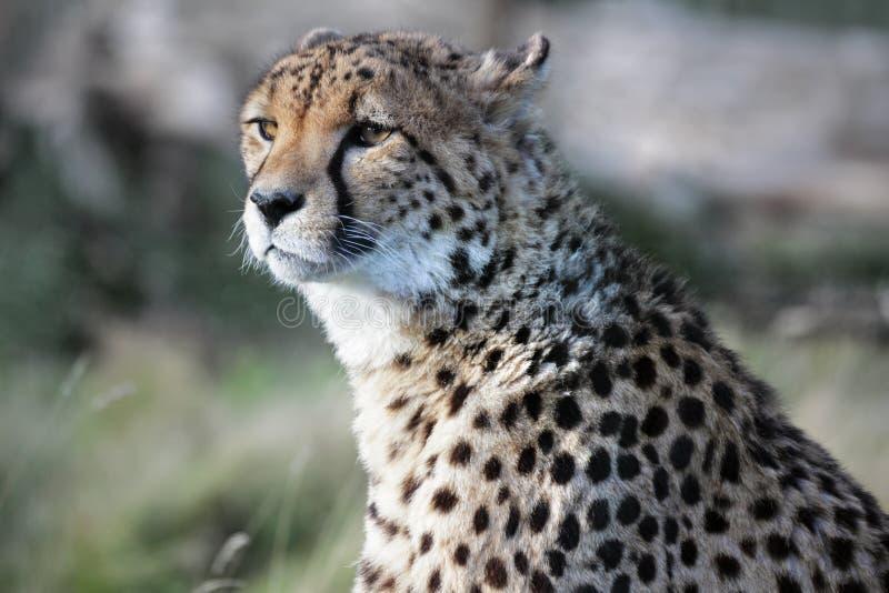 Download Cheetah stock photo. Image of animals, nobody, watching - 26890150