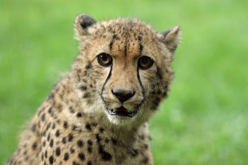 Download Cheetah stock image. Image of carnivore, laying, natural - 26955063