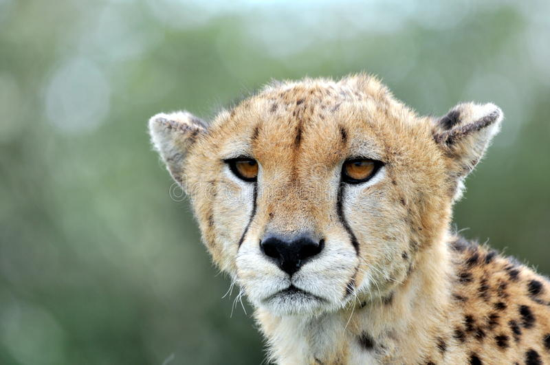 Download Cheetah stock image. Image of outdoor, africa, head, outside - 27232751