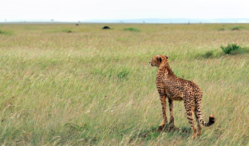 Download Cheetah stock image. Image of environment, head, cheetah - 27232763