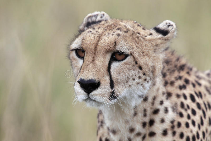 Download Cheetah stock photo. Image of spots, african, hunting - 28703632