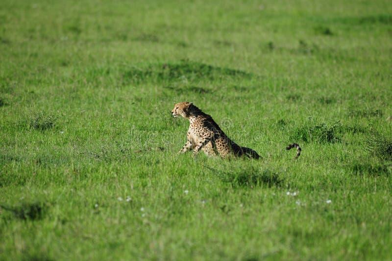 Download Cheetah Royalty Free Stock Image - Image: 29503716