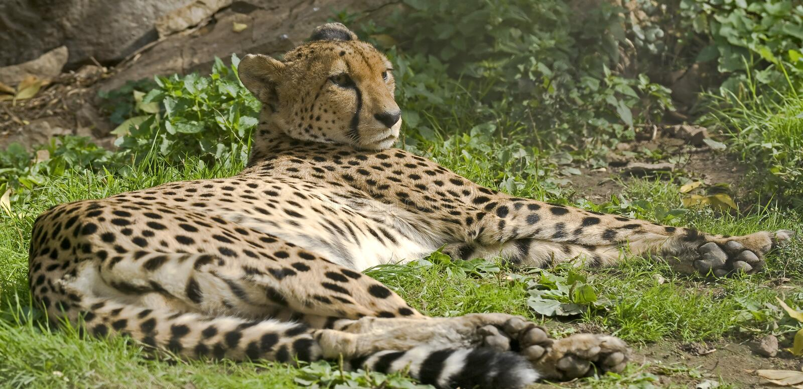 Download Cheetah 3 stock photo. Image of growl, zoology, portrait - 26810482