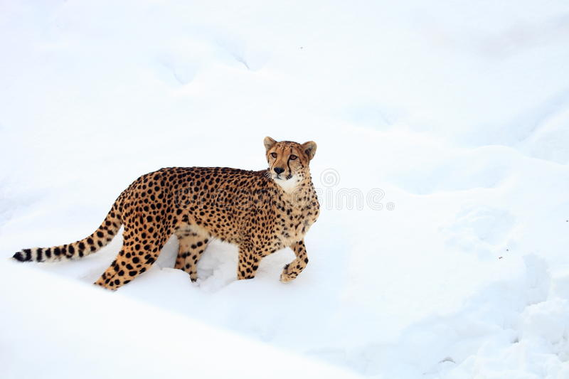 Cheetah. Run on white snow in winter