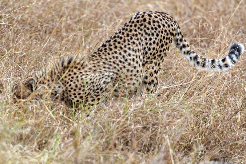 cheetah royalty-vrije stock afbeeldingen
