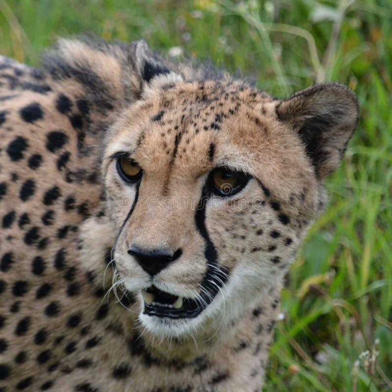 cheetah fotografia stock
