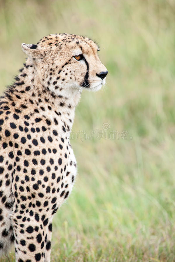 Download Cheetah image stock. Image du masais, chasseur, mara - 45354907