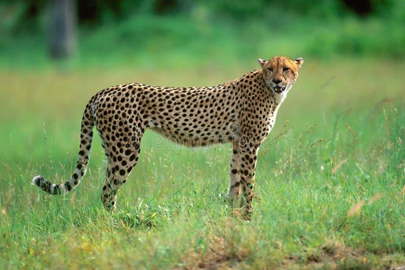 cheetah arkivbilder