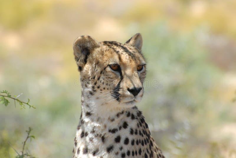 cheetah immagini stock libere da diritti