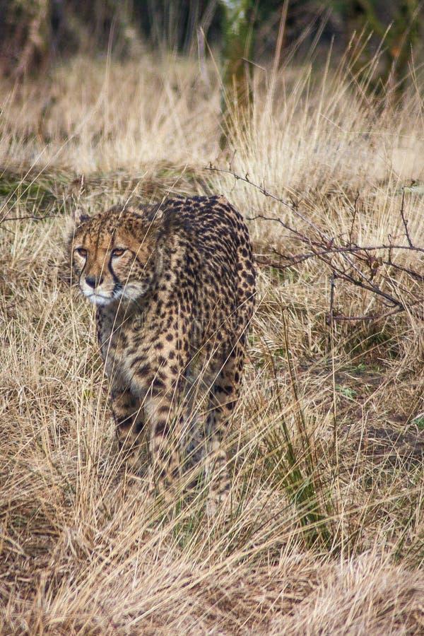 cheetah immagini stock