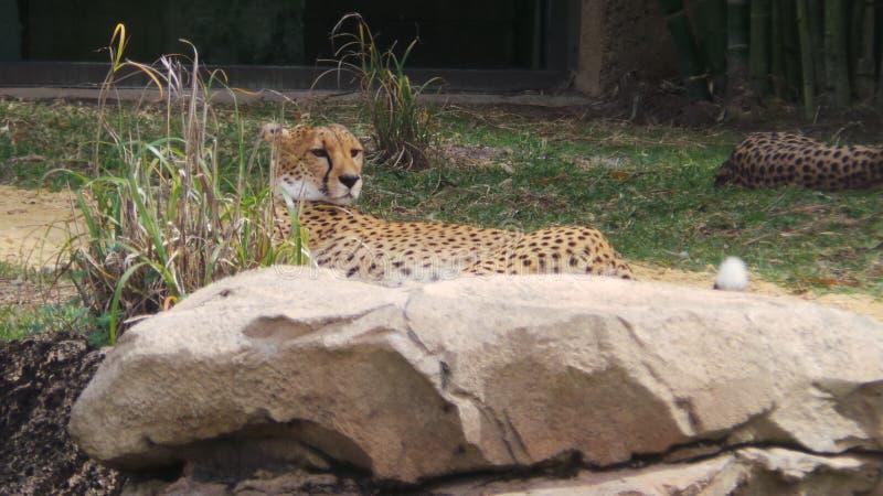 cheetah royaltyfri fotografi