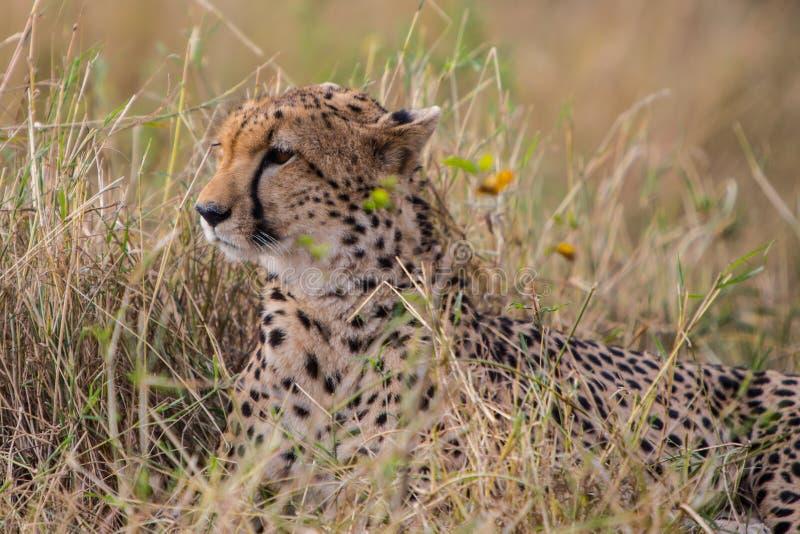 cheetah foto de stock