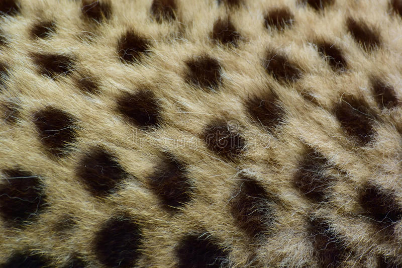 cheetah stock fotografie