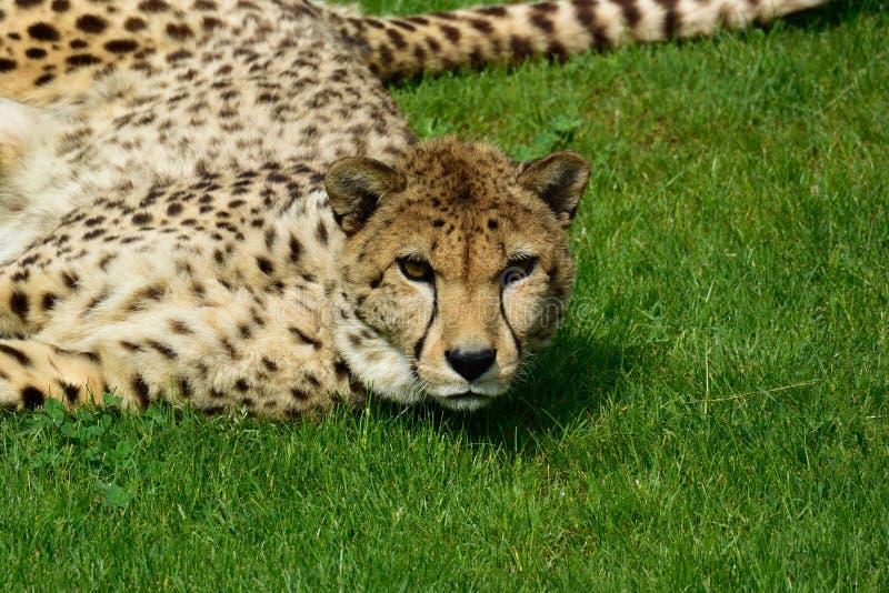 cheetah lizenzfreie stockfotos