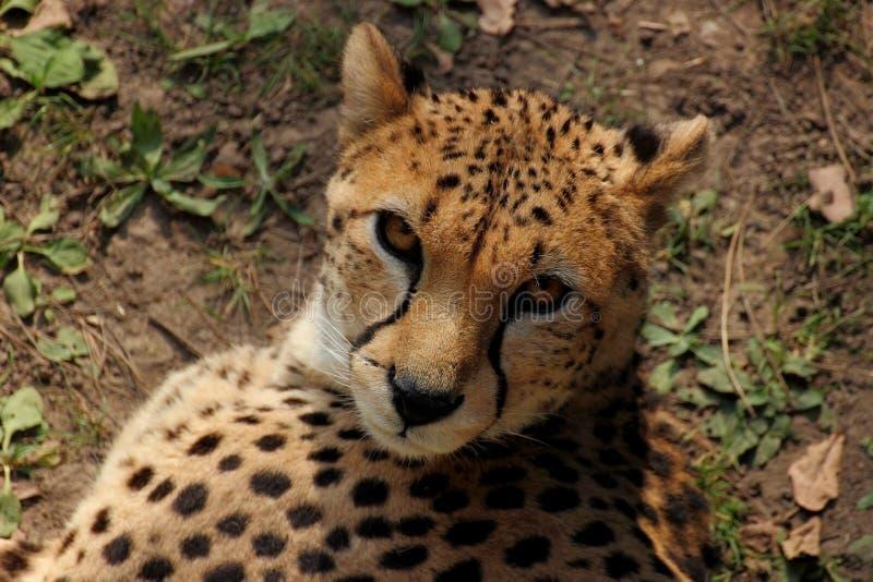 cheetah lizenzfreies stockbild