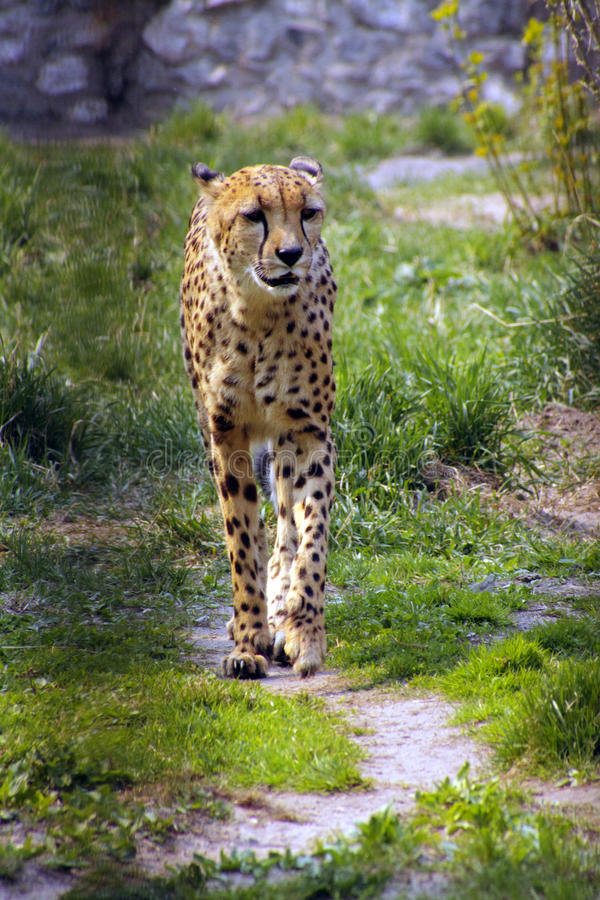 Download Cheetah immagine stock. Immagine di wildlife, erba, percorso - 56888249