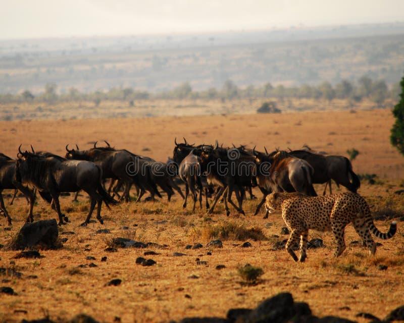 Cheetah 2 royaltyfria foton