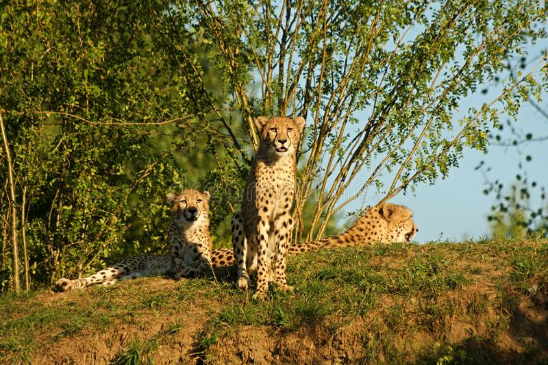 cheetah images stock