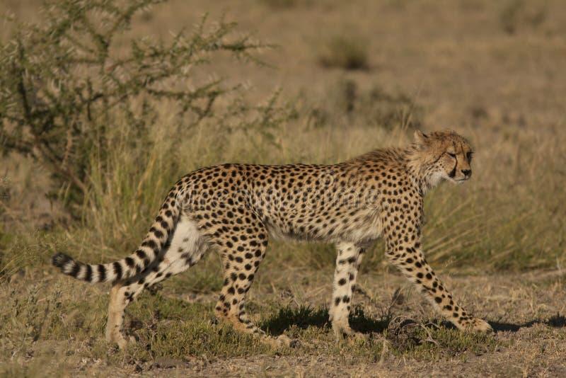 cheetah immagine stock