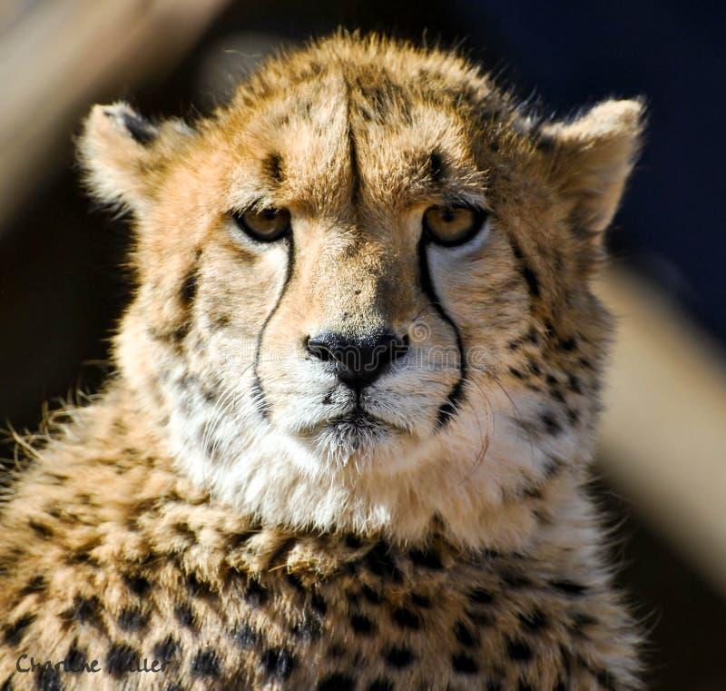 cheetah lizenzfreie stockbilder