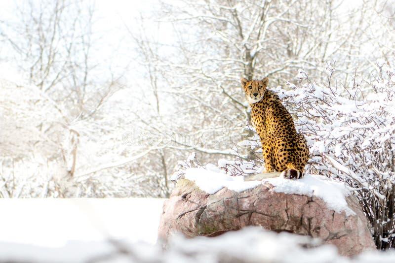 cheetah royaltyfri bild