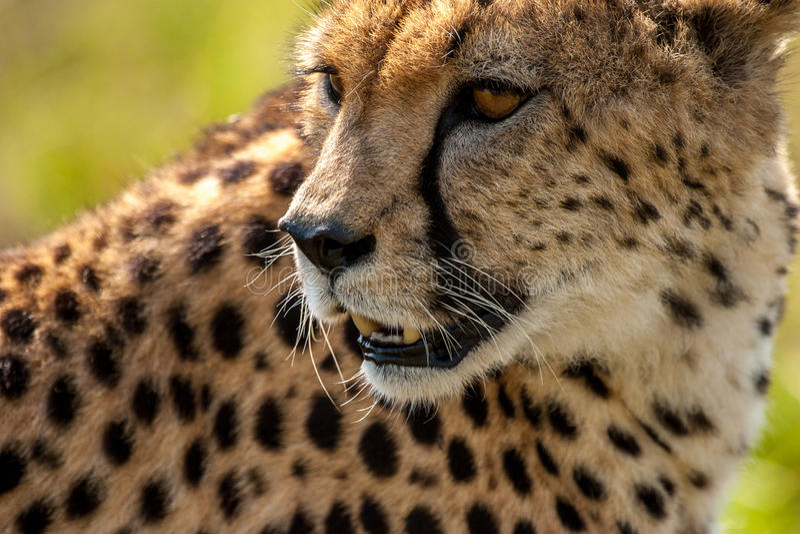 cheetah royaltyfria bilder