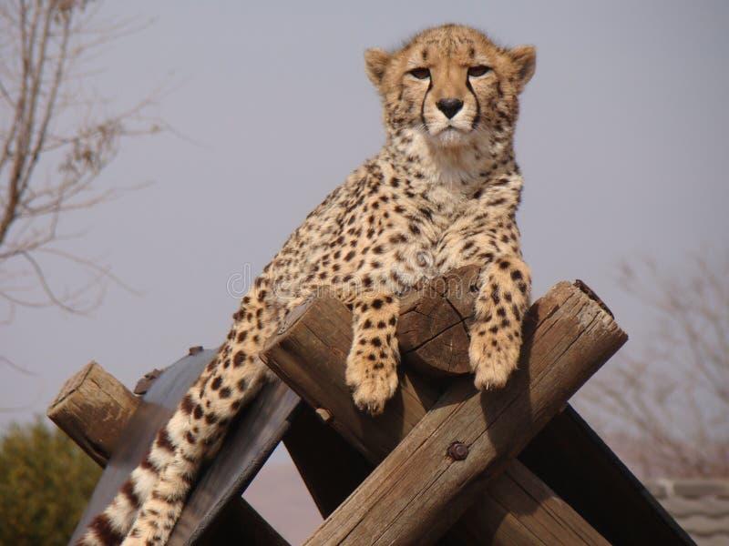 cheetah stockfotos