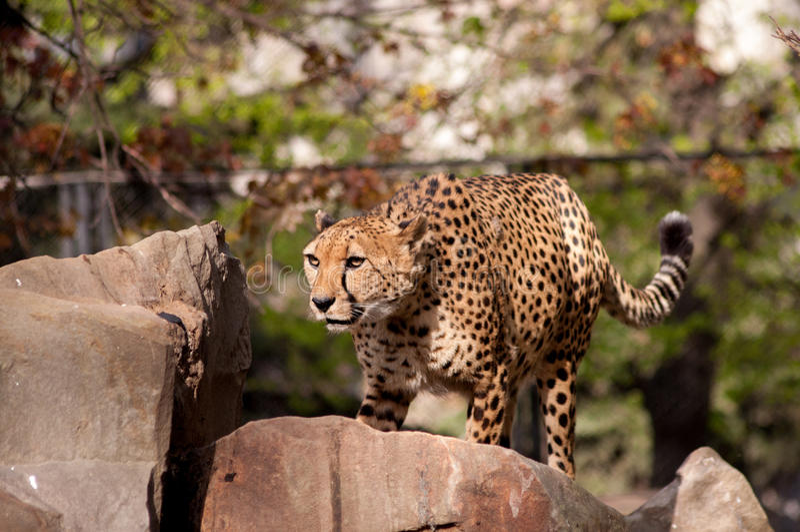 cheetah fotografie stock libere da diritti