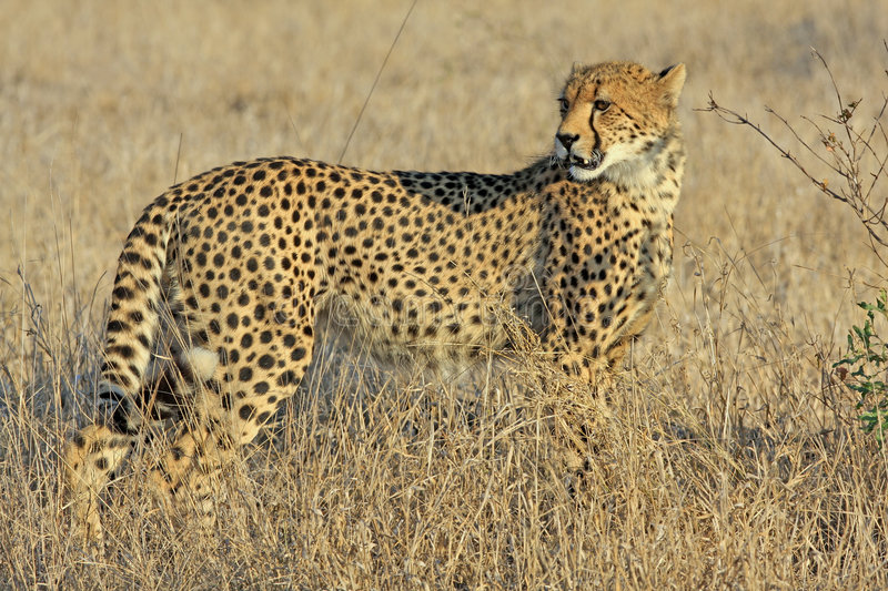 Download Cheetah stock image. Image of carnivour, grass, feline - 7115443