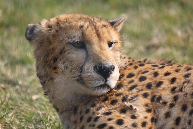 Download Cheetah stock image. Image of hunter, cheeta, fauna, eyes - 8461065