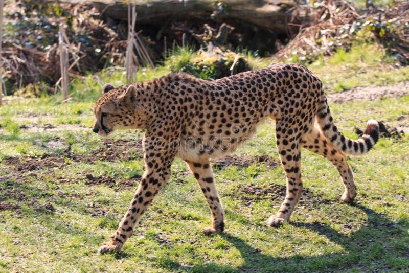 cheetah fotografia de stock