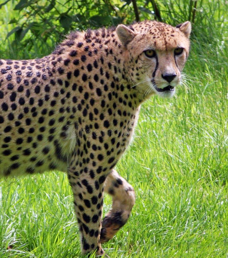 Download Cheetah stock photo. Image of large, alert, africa, acinonyx - 8496438