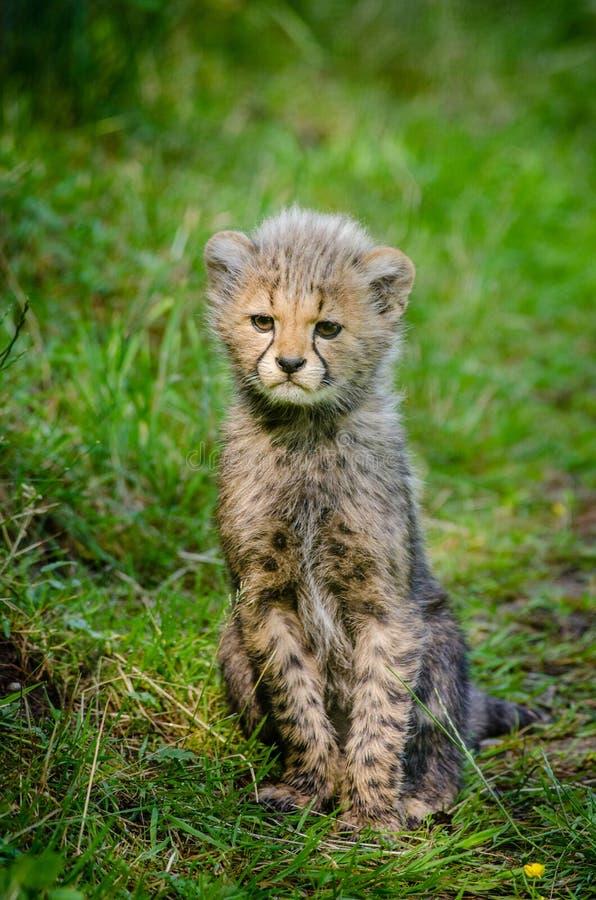 Cheetah Free Public Domain Cc0 Image