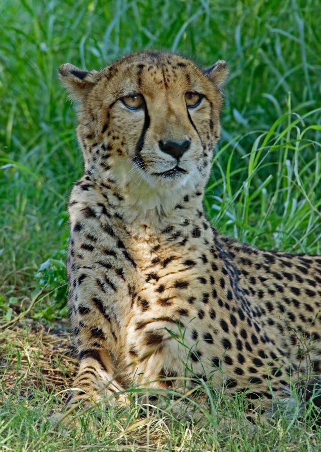 cheetah imagens de stock