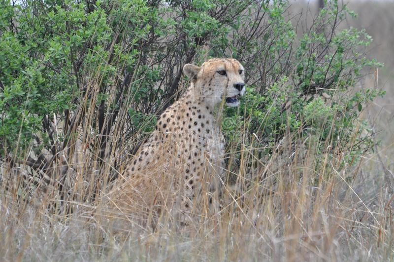 cheetah fotografia de stock royalty free
