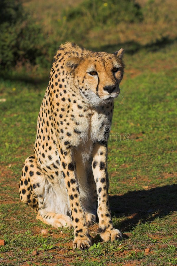 Download Cheetah stock photo. Image of park, acinonyx, hunter, exotic - 935446