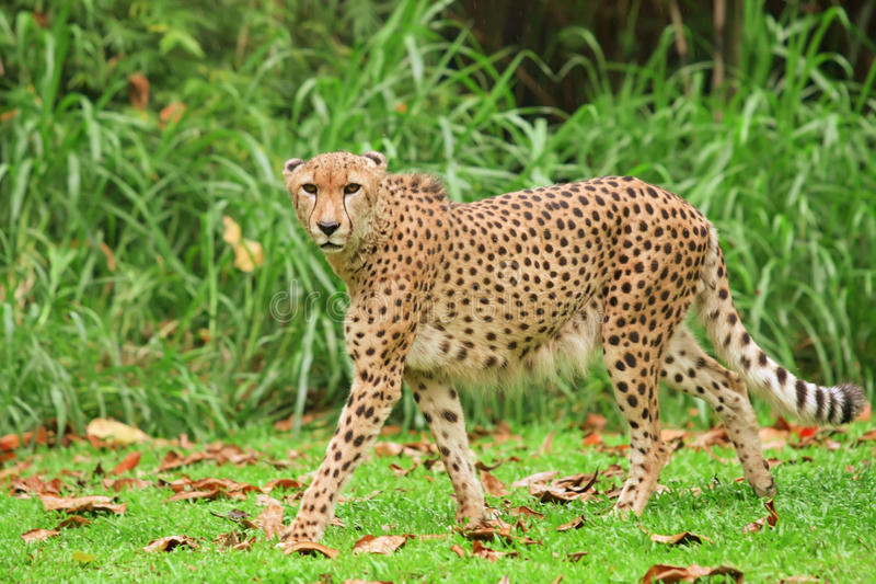 Download Cheetah stock image. Image of area, grass, feline, dangerous - 9697597