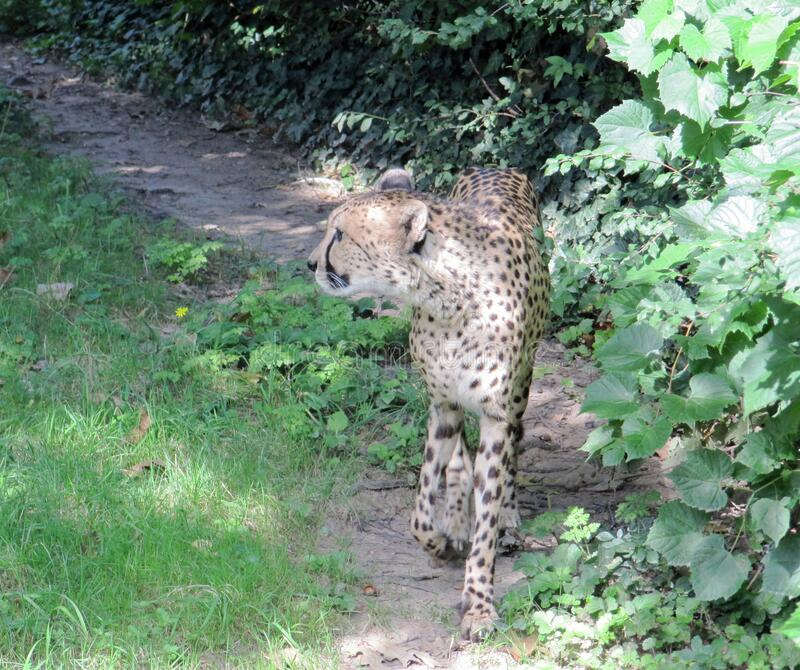 Cheetah, Acinonyx jubatus, är ett rovdjur som huvudsakligen finns i Afrika arkivfoton
