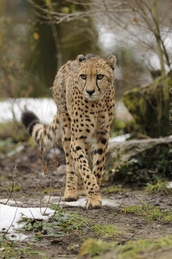Download Cheetah (Acinonyx jubatus) stock image. Image of acinonyx - 17775753