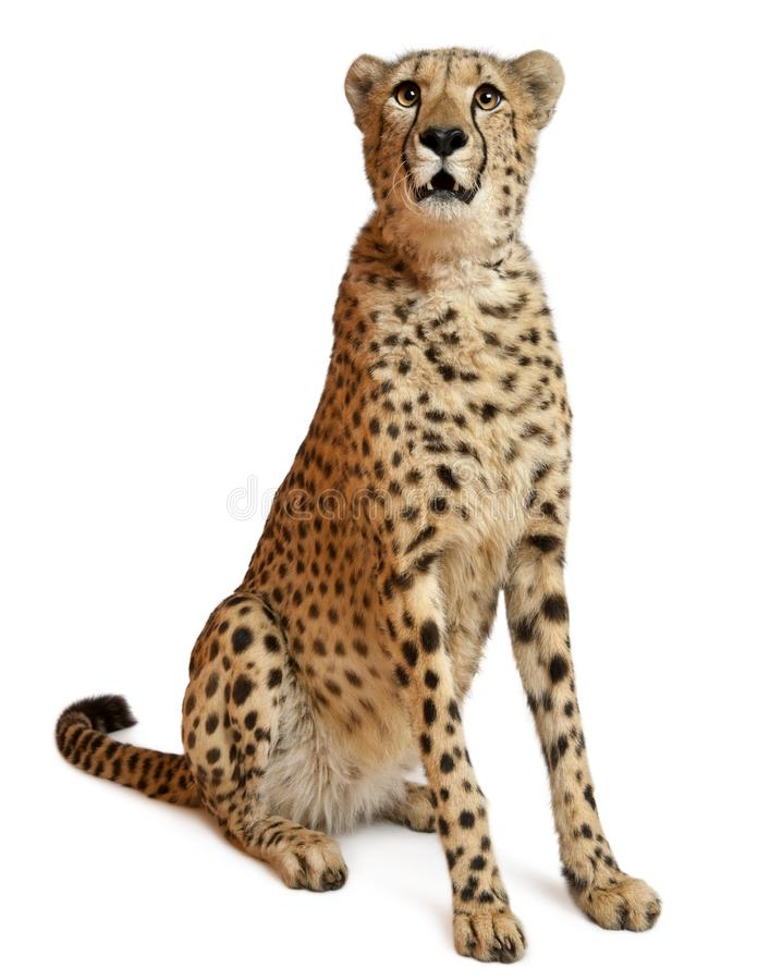 Free Cheetah, Acinonyx Jubatus, 18 Months Old Royalty Free Stock Images - 131672679
