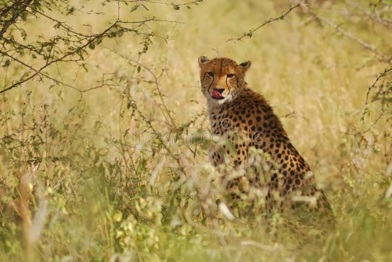 Download Cheetah (Acinonyx jubatus) stock image. Image of fastest - 20318443