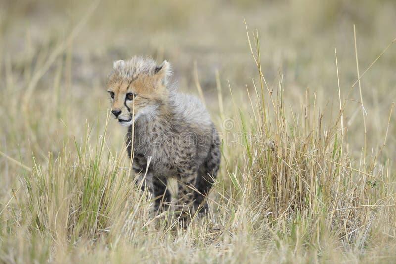 The cheetah (Acinonyx jubatus) stock photo