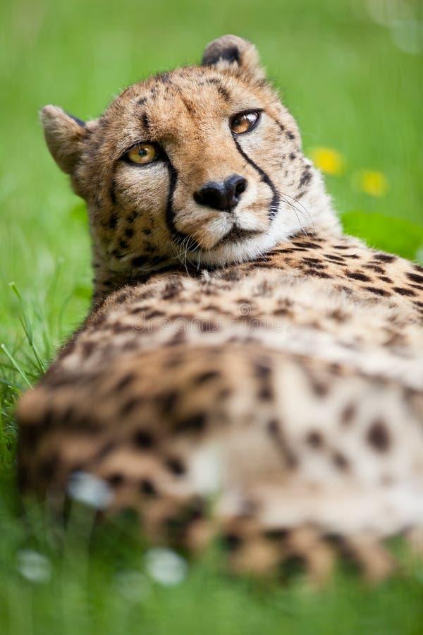Download Cheetah (Acinonyx Jubatus) Royalty Free Stock Images - Image: 23729579