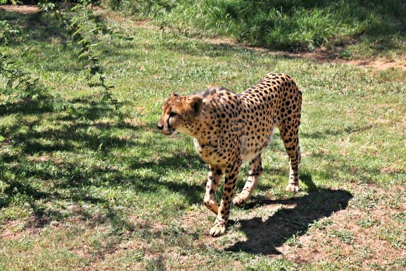 Asian Cheetah stock photo. Image of large, fastest ... |Iranian Cheetah Vector