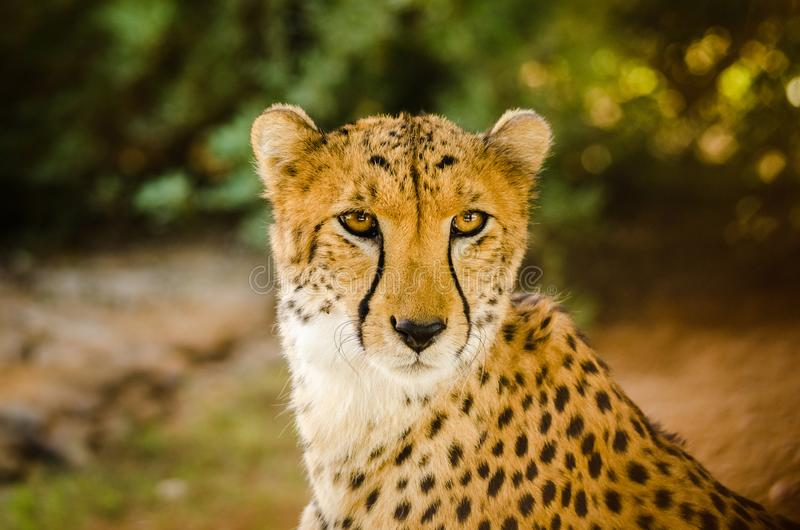 Cheetah & x28;Acinonyx jubatus& x29; royalty free stock photo