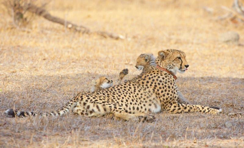 Cheetah (Acinonyx Jubatus) Cubs Stock Photo